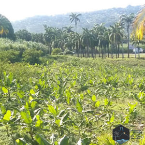 Découvrez l'ile de la Martinique Bananeraies - Jardins de Laclos
